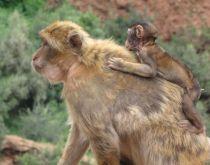 Maroko – opice